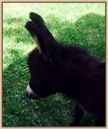 Mossy Oak Miniature Donkey Farm - Donkeys We've Sold