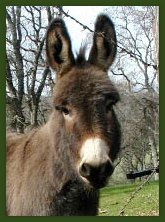 Brown Miniature Donkey