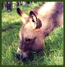 Gray Miniature Donkey